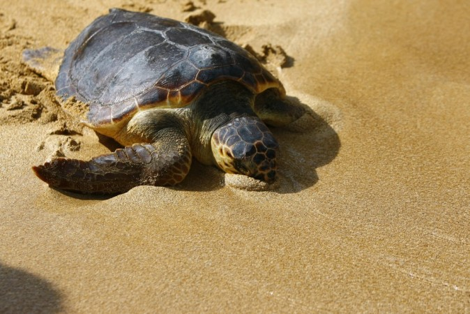 Mystery Solved: Why Certain Species of Turtles Breathe through Anus (Reuters)