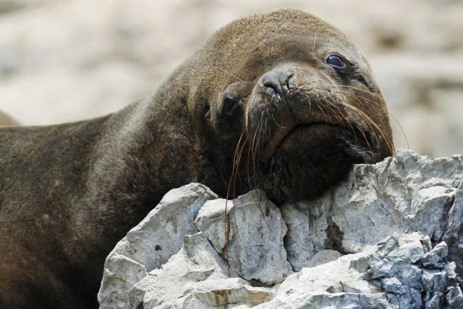 A sea lion is seen at Isla de Asia
