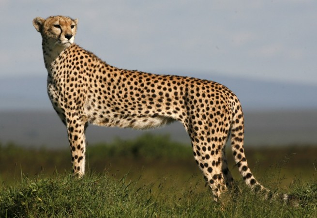 Cheetah can attain about 16 body lengths per second in comparison with mite which can cover 322 body lengths in one second