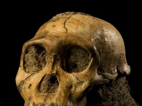 Male Human Ancestor Skull