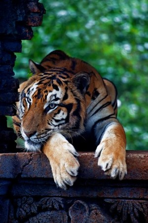 The Tiger (Panthera tigris)