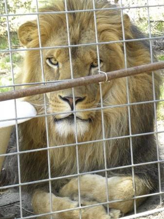 Handout photo of Cous Cous the lion at the Cat Haven Sanctuary in Dunlop