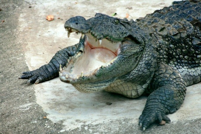 Crocodiles (Representational Image)