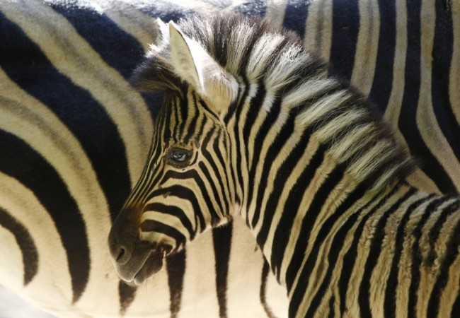 Scientists Solve the Mystery over Zebras Having Stripes