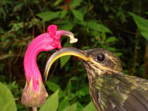 Buff-tailed Sicklebill, a Hermit hummingbird (Reuters)