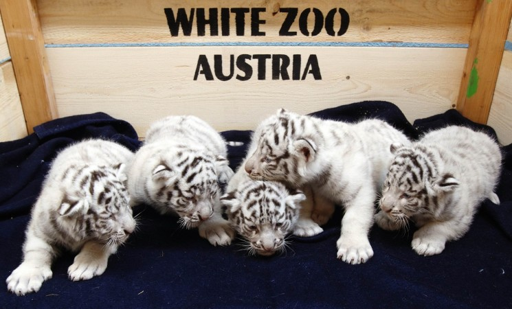 The fact that the one of the cubs of white Bengal Tiger unveiled on Tuesday was named 'Obama', has invited a surge of funny comments online.