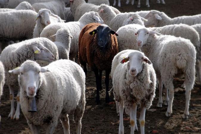 sheep (Wikimedia Commons/Jesus Solana)