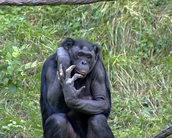 chimpanzee (Wikimedia Commons/Kabir Bakie)