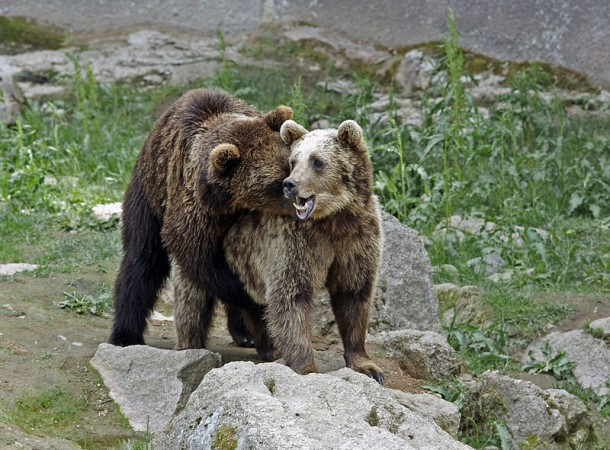 Male Brown Bears Caught Performing Oral Sex (Representational Image) [Wikimedia Commons/kallerna]