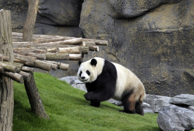 Giant panda Ai Hin had her keepers believe she is pregnant