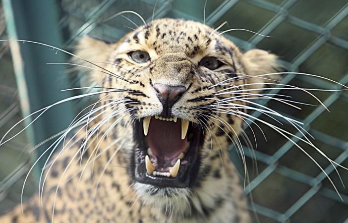 Leopard kills drunk indians