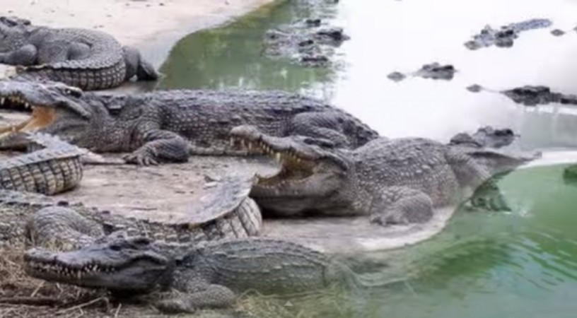 Thai Woman Died, Jumped into A Pond of 1Lakh Crocodiles