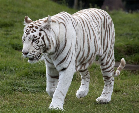 Big cats fight: Injured white tiger dies in Bannerghatta