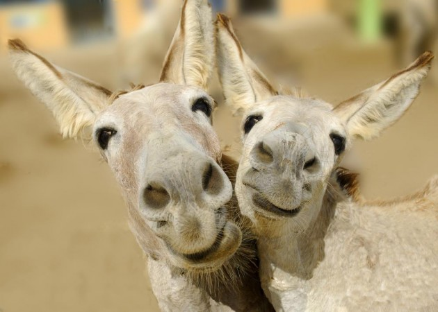 Donkeys reunited in Polish zoo after sex scandal