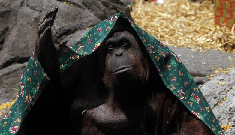 Orangutan Sandra Granted Human Rights