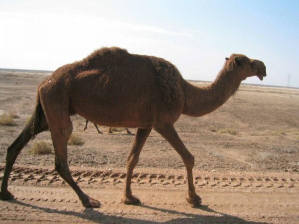 camel bites man