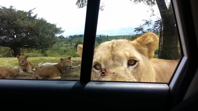 Video: Safari-goers scream as lion works out how to open car door