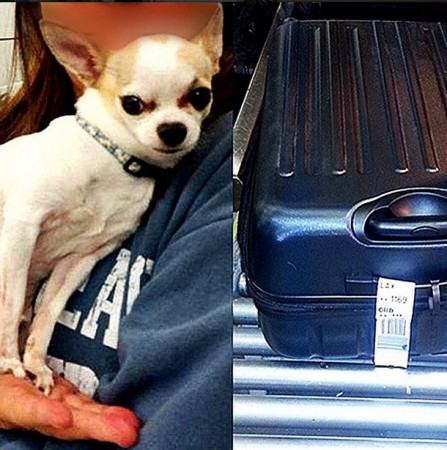 The Chihuahua was found inside the black suitcase (right).