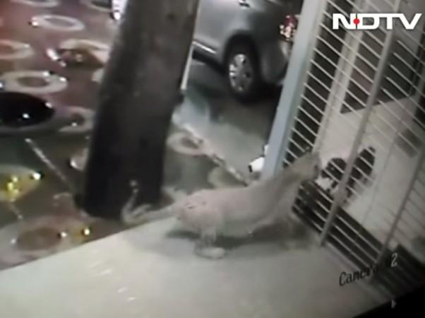 dog chases away leopard in borivali mumbai