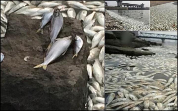 Tianjin dead fish