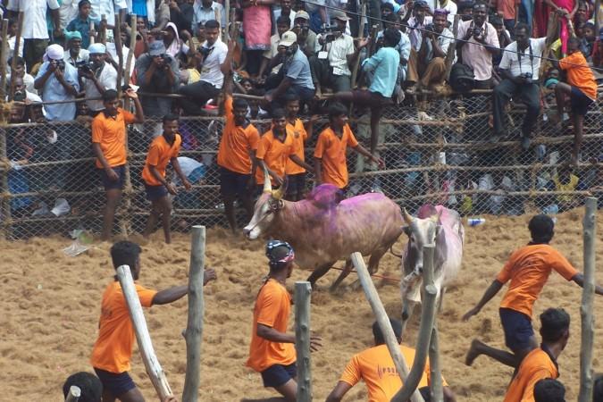 Jallikattu bull festival