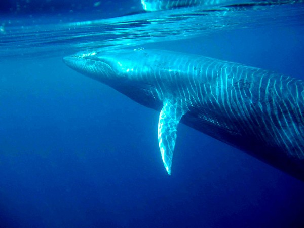 Bryde whale