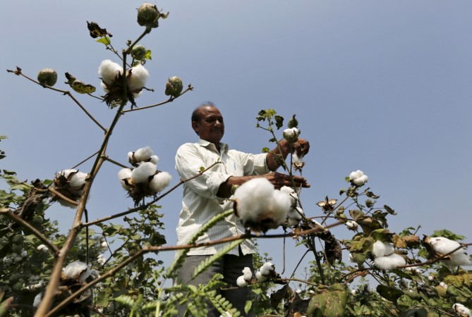 GM Cotton Monsanto