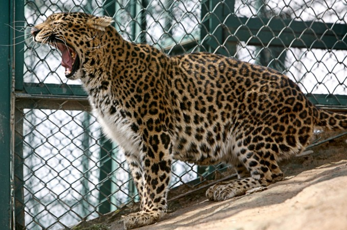 Panic erupts after leopard enters residential area