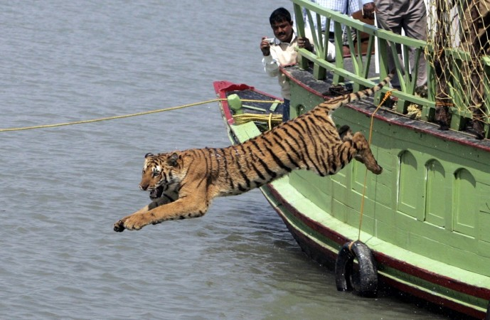 tiger tourism india incredible poaching tiger day tiger project wildlife sanctuary park killing reserve bengal siberian