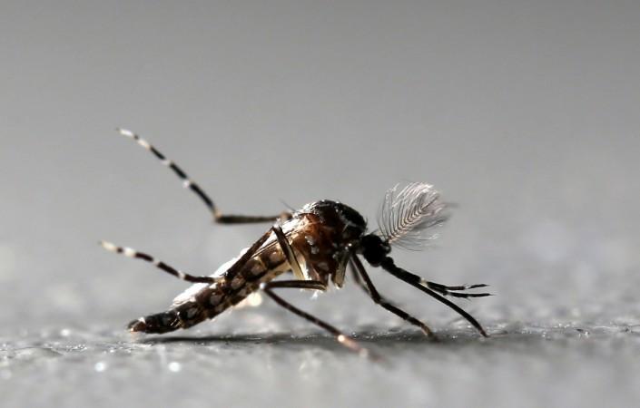 Aedes aegypti mosquito, Zika