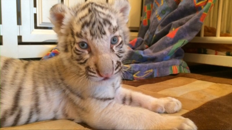 Tiger cub found in mail