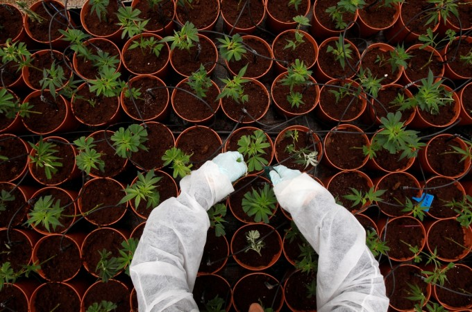 Cannabis. weed, grow your own weed