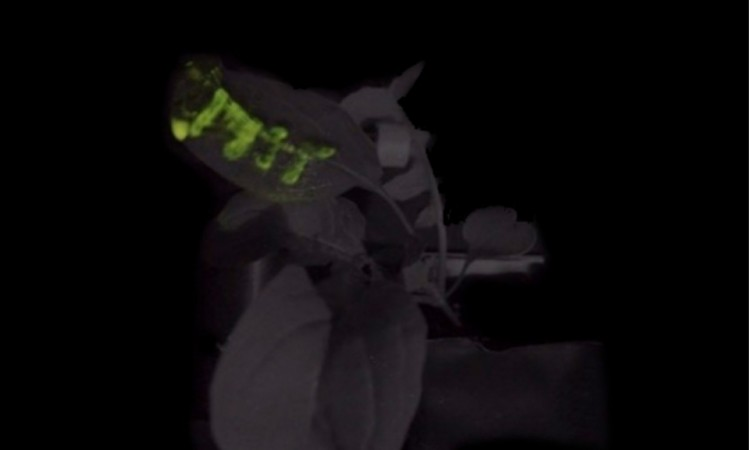 MIT scientists borrow from fireflies to make glowing plants
