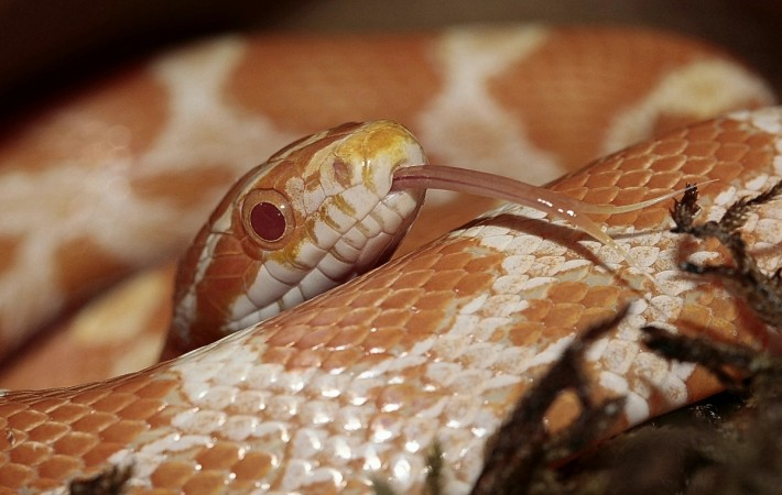 Fungal Disease Threatens Snakes of All Kinds Worldwide, Study Says
