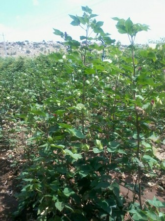 The 5 ft. height of cotton crop in Sanjeeva Reddy's Farm