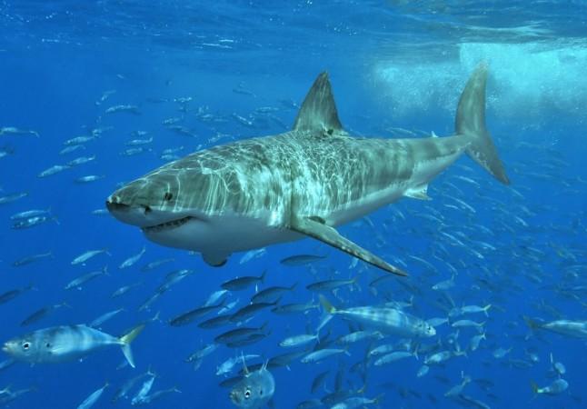 intersex shark discovered