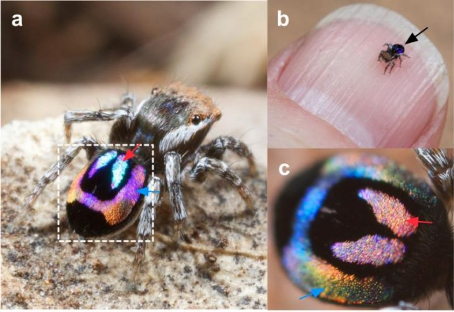 peacock spider with rainbow