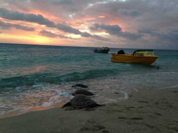 Release of young green sea turtles back to their foraging ground in the northern Great Barrier