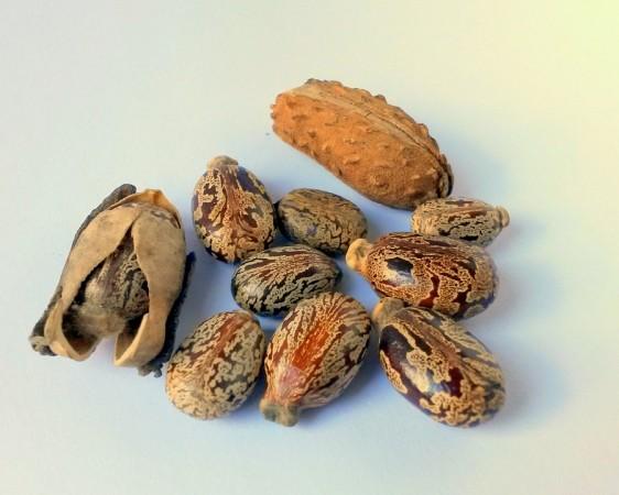 castor-oil seeds