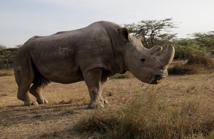 Last male white rhino is put down