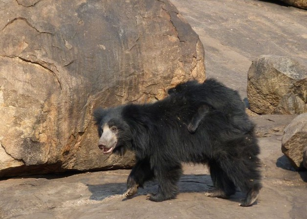 Don't Mess With Mama: Sloth Bear Shows Tiger Who Wears the trousers