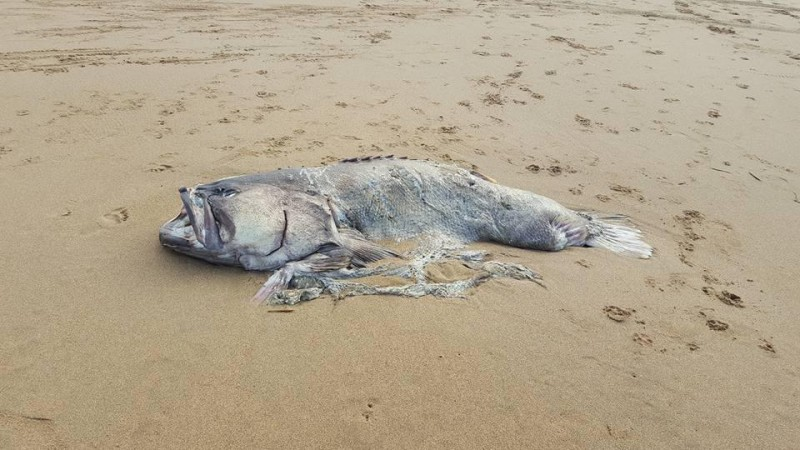 Mysterious sea 'monster' weighing 330 pounds washes up on Australian beach