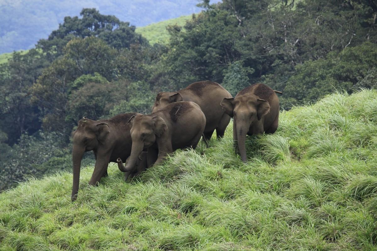 Elephants at Periyar