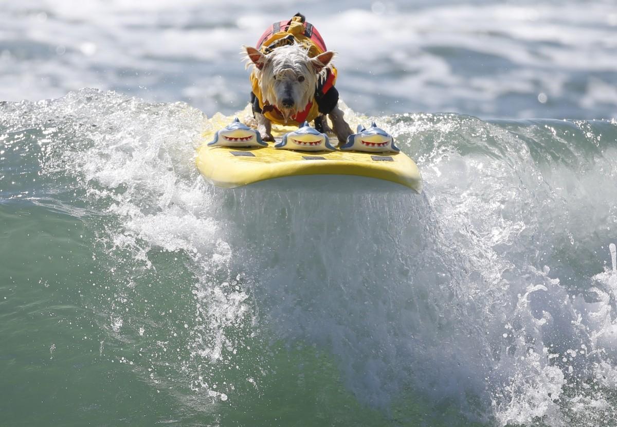 Surfer Dog Joey
