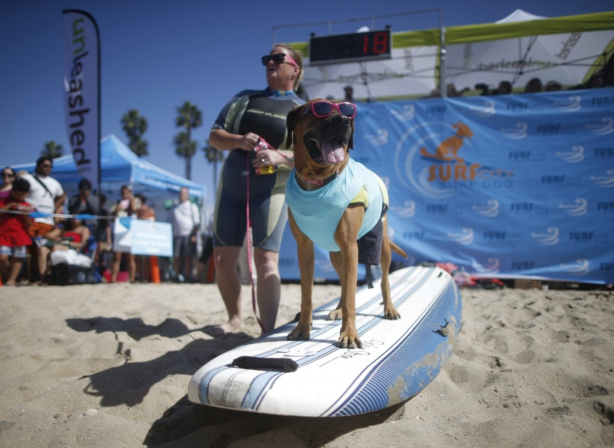 Roxy the Surfer Dog waits to surf at the 6th Annual Surf City surf dog contest