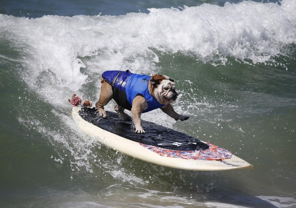 Surfer Dog Tillman at the Surf City surf dog contest in California Beach
