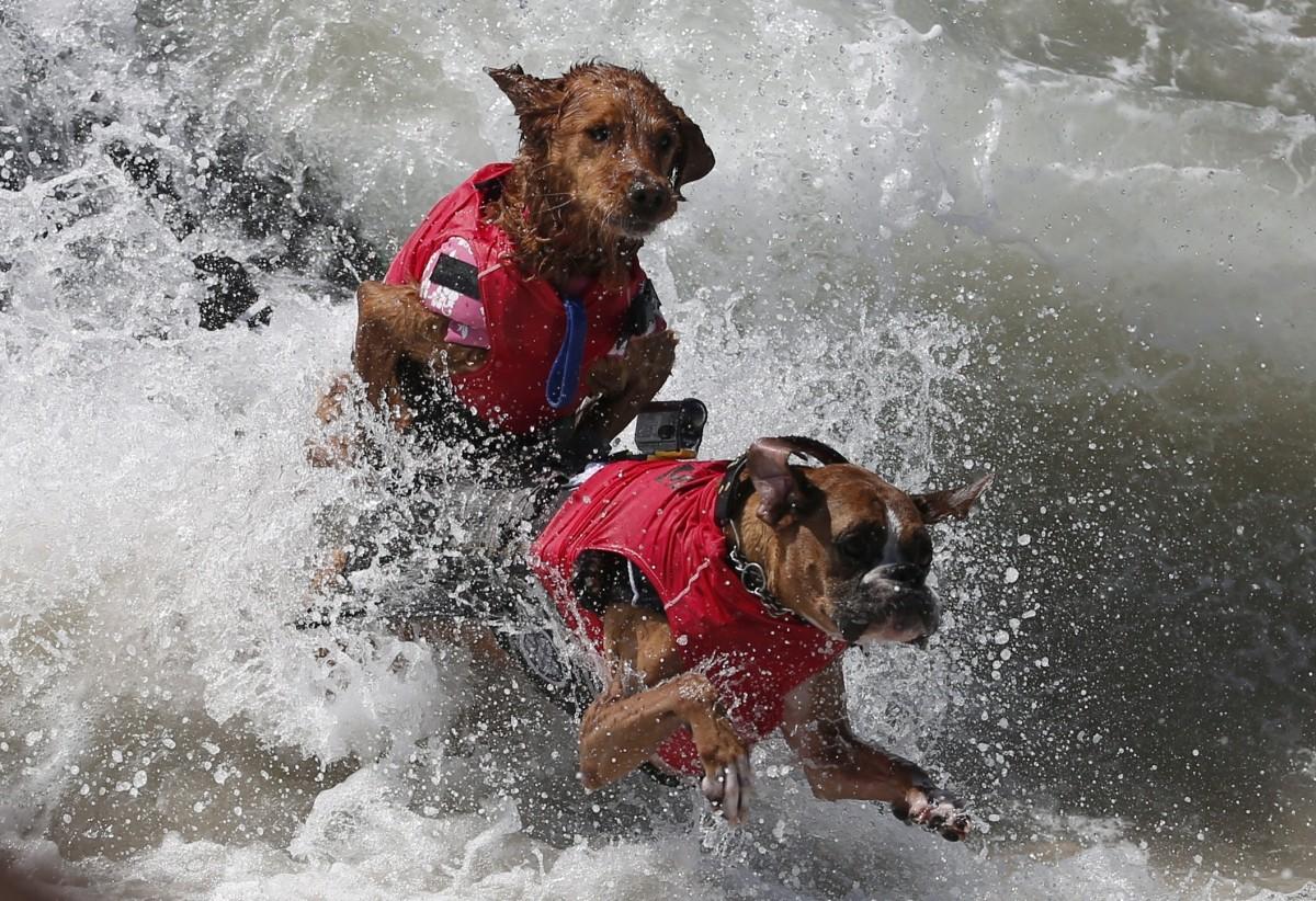 Annual Surf City surf dog contest