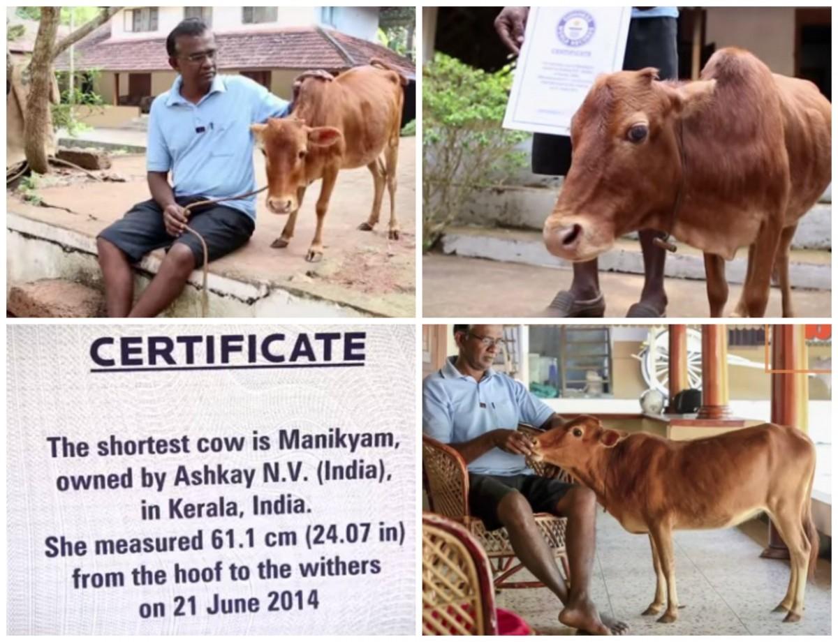 Manikyam- Shortest Cow