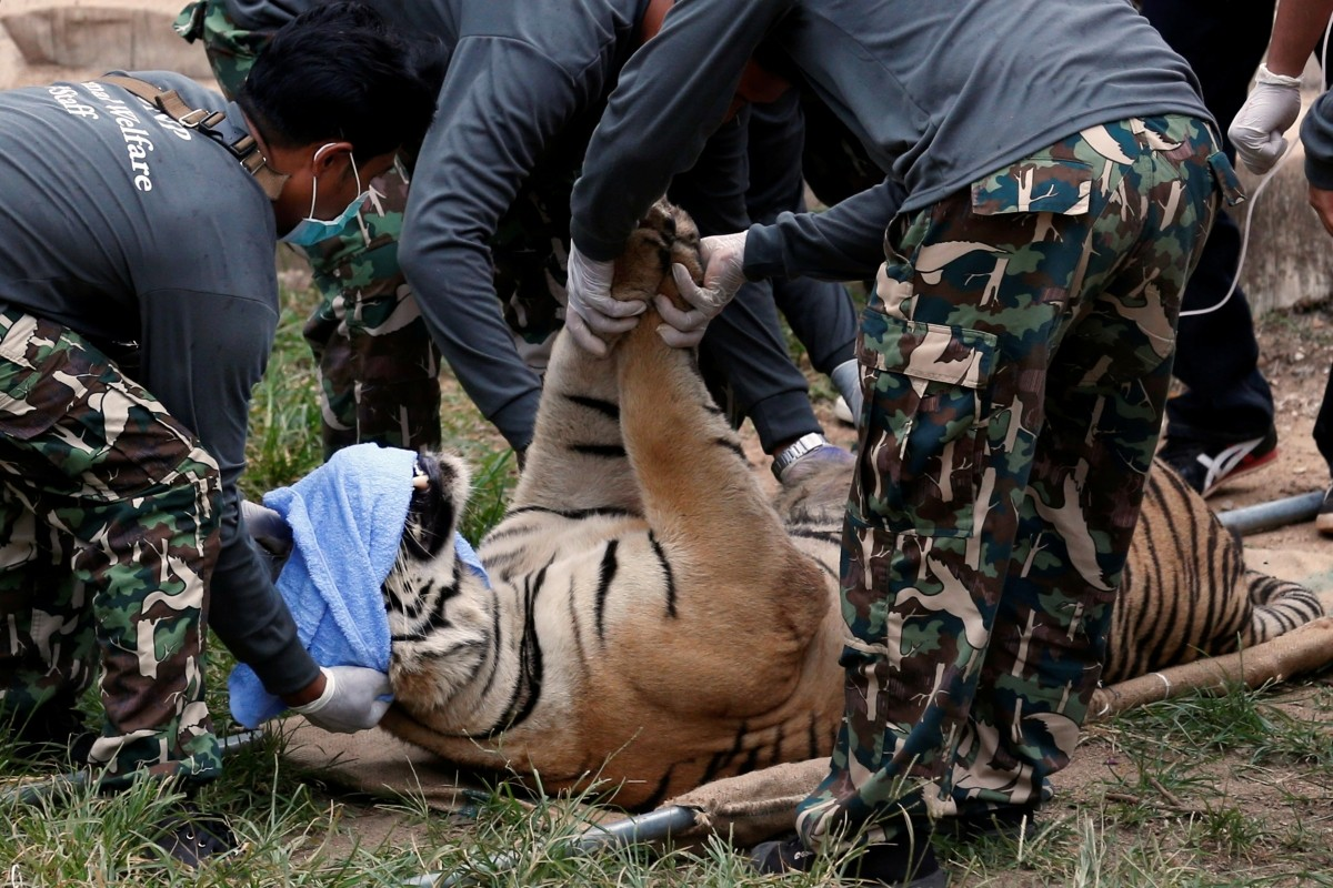 A sedated tiger is stretchered as officials start moving tigers from Thailand's controversial Tiger Temple, in Kanchanaburi province, west of Bangkok, Thailand, May 30, 2016. Wildlife authorities raided the Buddhist temple where tigers are kept, taking away three of the animals and vowing to confiscate scores more in response to global pressure over wildlife trafficking.