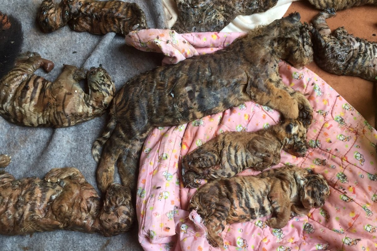 Dead tiger cubs are displayed by Thai officials after they were found in a raid on the controversial Tiger Temple, a popular tourist destination which has come under fire in recent years over the welfare of its big cats, in Kanchanaburi province, west of Bangkok, Thailand June 1, 2016.